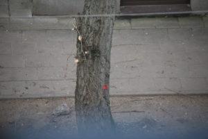 """Medžio A. Vivulskio gatvėje žymėjimas """"genėti"""""""